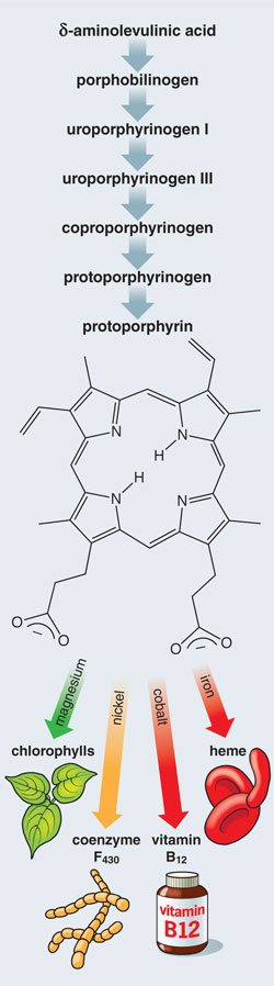 Porphyrins: One Ring in the Colors of Life | American Scientist