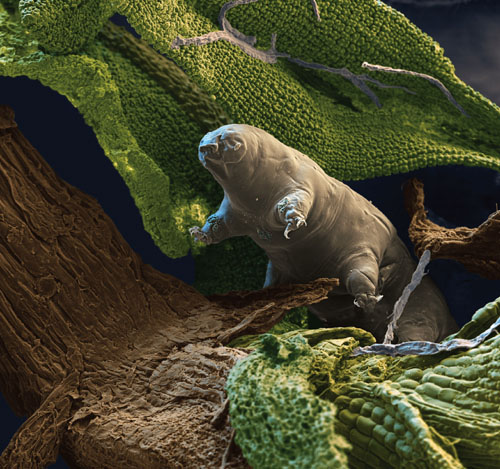 Tardigrades American Scientist