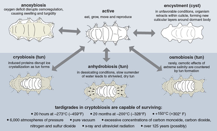Tardigrades | American Scientist