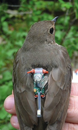 Avian Athletes Who Start Their >> Avian Migration The Ultimate Red Eye Flight American Scientist