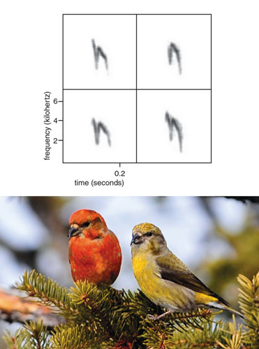 Biologists represent animals' vocalizations visually with spectrograms, graphs of signal pitch (quantified as frequency) at different time points. The top row of spectrograms shows the calls of two red crossbills of the same call dialect before pair bonding. (Call dialects are call variants that emerge at the population level.) In the bottom row, which shows the same birds' calls after pairing, the calls are even more similar. The call dialects red crossbills produce are reliably associated with morphological differences and foraging specializations within the species, so any changes to call structure are intriguing. Call dialects could help birds identify companions with the same foraging preferences, and thus crossbills are expected to suffer if they change dialect: If an individual did so, it would associate with companions of the wrong foraging specialization and have reduced access to food. On the other hand, like other birds that forage communally, form long-term pair bonds and cooperate with their mates to rear young, crossbills are expected to benefit from matching calls with mates and family members. These conflicting pressures on vocal matching make crossbills unique: They only form social bonds (and thus only match calls) with members of their same size class and dialect, and they almost never match calls or bond with birds of a different size class or dialect. This conditional call matching generates calls with two levels of variation. Crossbill contact calls contain features that are shared with mates and flock members and reflect investments in current social bonds. At the same time, the birds' overarching dialect structures, which are exclusive to their size class and foraging specialization, limit communication and social interaction with birds of different size classes. <strong>Photo at bottom by Christine Pentecost. Spectrograms courtesy of the author.</strong>