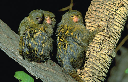Male pygmy marmosets (<em>Callithrix pygmaea</em>) are thought to alter their calls to match those of a female mate. The process of matching vocalizations can take several weeks and is, biologists speculate, an important part of the pair-bonding process. Pygmy marmosets are native to the Upper Amazon basin in South America; the group above was photographed at the San Diego Zoo. <strong>Gregory G. Dimijian, M.D./Photo Researchers</strong>
