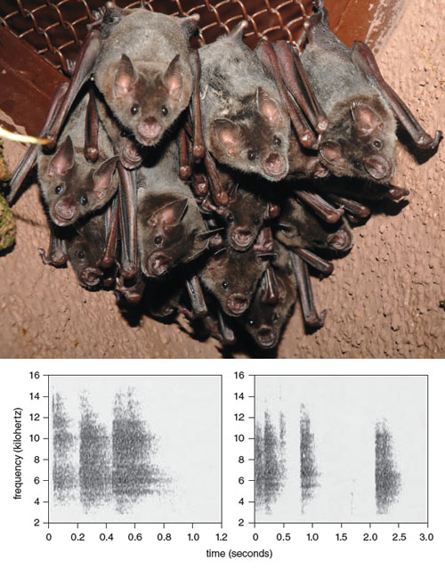 Call matching is important for group cohesion as well as for mated pairs. At top, pale spear-nosed bats (<em>Phyllostomus discolor</em>), roost together at Zoo Olomouc in the Czech Republic. Greater spear-nosed bats (<em>Phyllostomus hastatus</em>), members of the same genus as pale spear-nosed bats and native to South and Central America, form groups known as roosts. Call matching may serve in this species as a password for group membership. Janette Boughman and Gerald Wilkinson of the University of Maryland found that female greater spear-nosed bats use roost-specific calls to help each other locate and defend food. At bottom are spectrograms of representative calls from two different roosts, showing the group-specific variation in the calls.<strong> Photograph by Milan Korínek. Spectrograms from Janette W. Boughman and Gerald S. Wilkinson, 1998. Reprinted with permission from Elsevier.</strong>