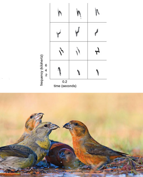 Red crossbills, shown bathing in a thawed puddle in Connecticut, have adapted into different size classes, each of which feeds on a different species of conifer. The rows in the chart at left contain spectrograms of four different red crossbill call dialects. Call dialects are rare among animal species. In red crossbills, each dialect is produced by birds of a different size class, and the calls in each row were produced by three different birds of the given size class. Although acoustic structure varies slightly among individuals of the same dialect, categorical differences permit discrimination (by human ears and, presumably, by the birds) of the distinct dialect types.<strong> Photo at bottom by Ardea/Jim Zipp/Animals Animals Spectrograms courtesy of the author.</strong>