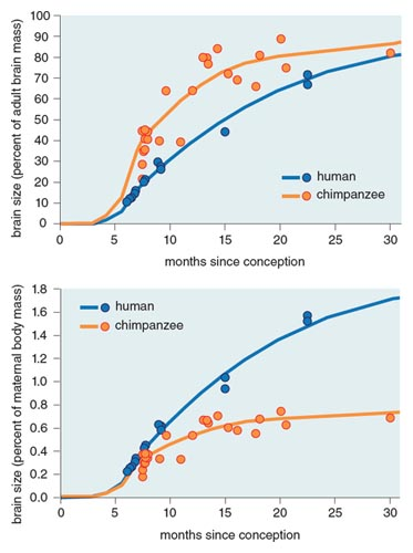 From the infant's perspective (top), humans are born with less-developed brains than chimpanzees—supporting the obstetrical hypothesis. From the mother's perspective, humans are born with large brains relative to chimpanzees (bottom)—supporting the energetics hypothesis. Holly Dunsworth and colleagues contend that because adult brain size in humans is much larger than in other primates for reasons having nothing to do with birth, using adult brain size as a basis for comparing primate gestation length or newborn brain size will underestimate that of humans. <strong>Graphs adapted by Barbara Aulicino from H. Dunsworth, et al., <em>Proceedings of the National Academy of Sciences of the U.S.A.</em> 109:15212.</strong>