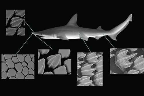 чешуя акулы