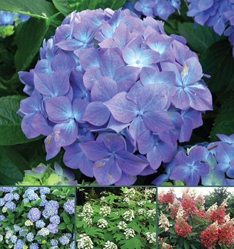Hydrangea Blossoms Are Widespread And Por But The Chemical Pathways Behind Their Pink To Blue Color Change Bottom Left Numerous Byzantine