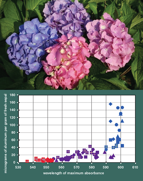 The Amount Of Pigment Within A Bloom Regardless Color Is Same Here Blue Danube Cultivar Always Has 140 To 180 Micrograms Per
