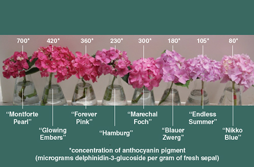 curious chemistry guides hydrangea colors american scientist