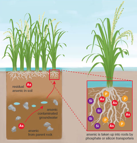 As rice grows, the roots take up silicon and phosphorous, which contribute to the structure and health of the plant. These same mechanisms transport arsenic present in the water and soil, which explains why rice readily accumulates arsenic in comparison to other food plants. <strong>Stephanie Freese</strong>