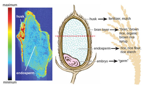 Inorganic arsenic especially accumulates in the rice grain's outer husk and bran layer. Through an elemental and isotopic imaging technique called <em>laser ablation inductively coupled plasma mass spectrometry</em>, the image on the left shows arsenic content in a sliced cross-section of an immature grain of rice (<em>indicated by red-dotted line on right</em>). The image on the right shows the way different parts of the rice grain are used. Rice products that retain the nutrient-rich outer layers of rice also tend to have higher inorganic arsenic content. <strong>Image on left from A.-M. Carey, et al. <em>Analytical and Bioanalytical Chemistry</em> 402:3275. Illustration by Stephanie Freese</strong>