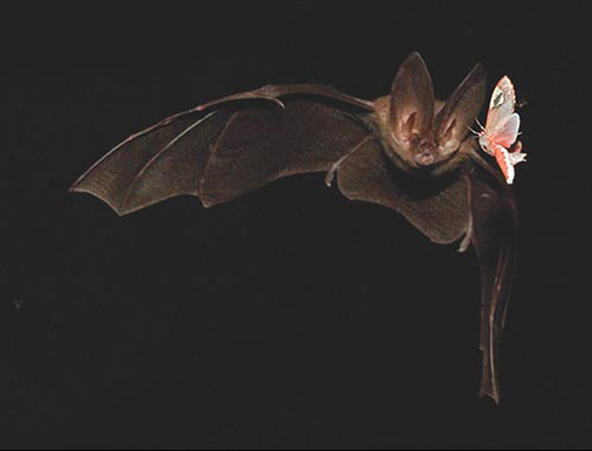 A Tail of Two Moths | American Scientist
