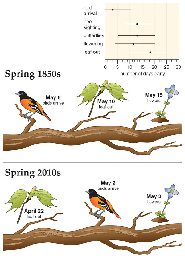 Using data from various studies, plants and insects are estimated to have shifted their spring timing more than migratory birds (<em>top</em>). Given an average spring warming of about 3.6 degrees Celsius in the Boston area since the 1850s, leaves emerge 18 days earlier and insects about 13 days earlier, but birds arrive only about 3 days early. In the 1850s, on average migratory birds arrived in Concord about 4 days before most of the trees and shrubs put on leaves. Today, the schedules of plants and birds are shifted earlier overall, but on average trees and shrubs put on leaves 10 days before migratory birds arrive. <strong>Illustration by Barbara Aulicino; data from E. R. Ellwood, et al., PLoS ONE 8:e53788; E. R. Ellwood, R. B. Primack, and M. L. Talmadge, The Condor 112:754; C. Polgar, et al., Biological Conservation 160:25; C. Polgar, A. Gallinat, and R. B. Primack, New Phytologist 202:1413.</strong>