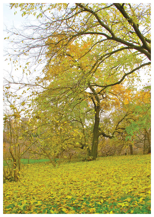 Research on the effects of climate change on autumn events in temperate forests is a particularly active area of research. For example, biologists are monitoring the leaf senescence times of mulberry trees at this botanical garden. <strong>Photograph courtesy of the authors.</strong>