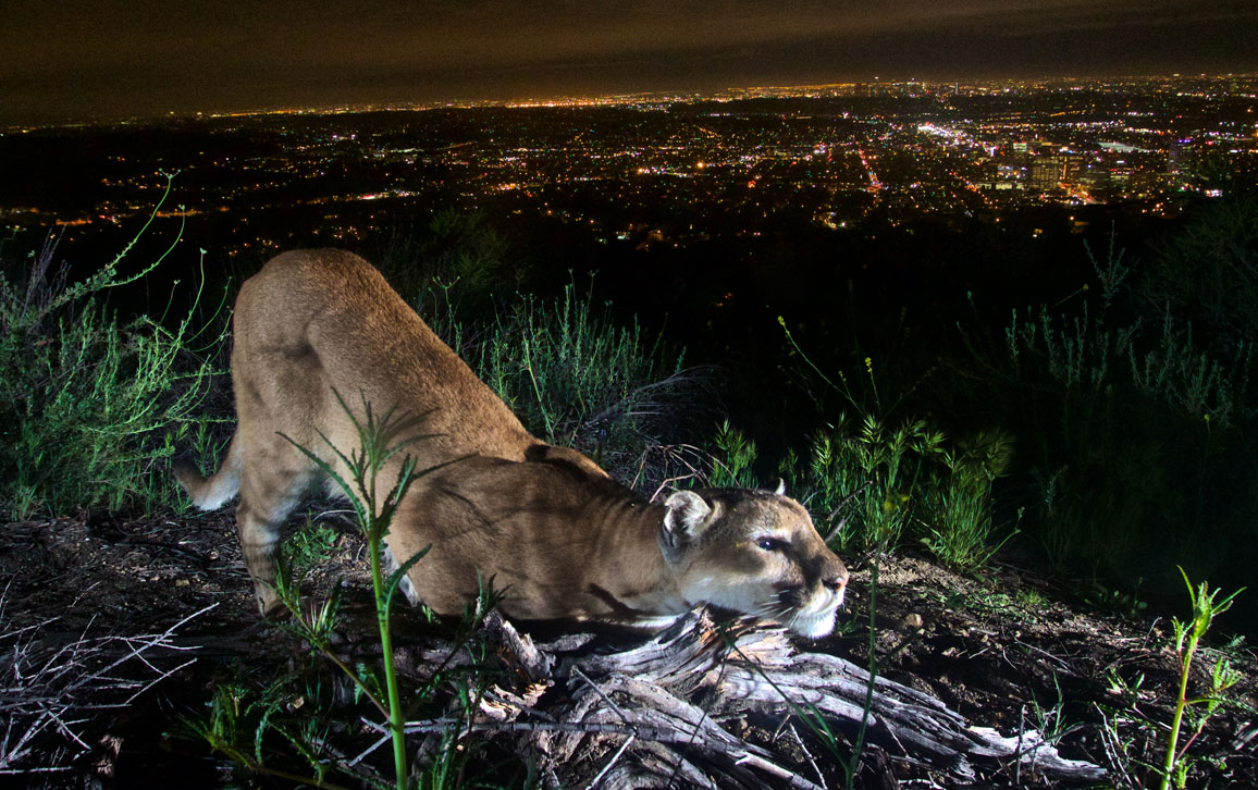 A Female Mountain Lion Cheek Rubs Leaving Her Scent On A Log In Mountains Overlooking Downtown Los Angeles California According To The U S National